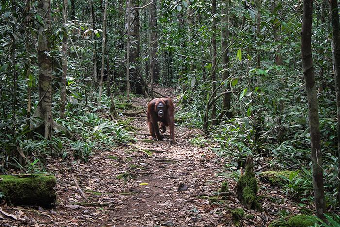 Orangutan en Borneo